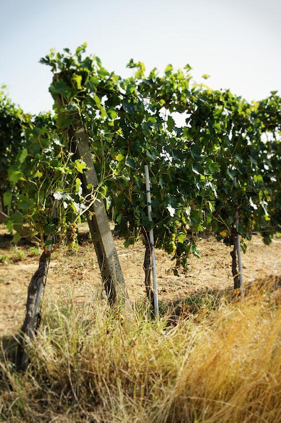 Vineyards near Vinci in Tuscany, Italy