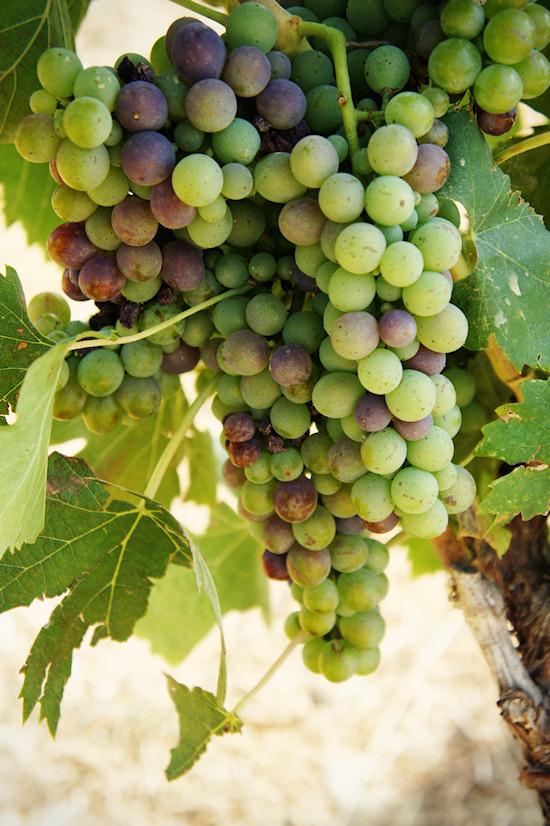 grape-vines