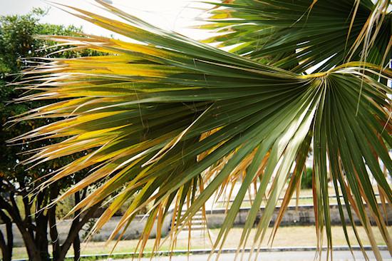 Viareggio Palm Tree