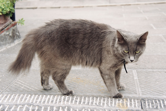 Cat in Vinci, Italy