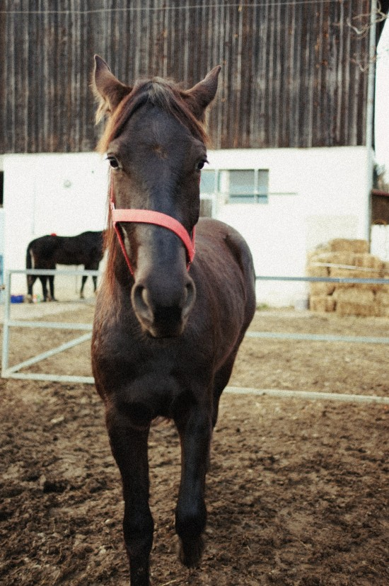 Khaleesi, two-year-old Appaloosa-Frisian horse @ Reitstall Putz-Tempelbauer, Rohrbach an der Lafnitz