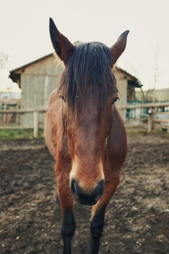 Alexa, Noriker crossbreed horse @ Reitstall Putz-Tempelbauer, Rohrbach an der Lafnitz
