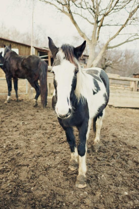 Sammy, Tinker paint horse @ Reitstall Putz-Tempelbauer, Rohrbach an der Lafnitz