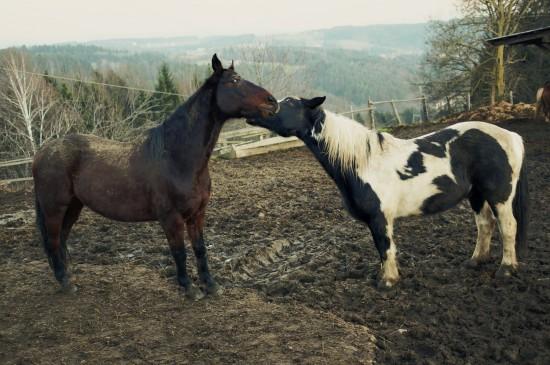 Sammy, paint horse, playing with Django @ Reitstall Putz-Tempelbauer, Rohrbach an der Lafnitz