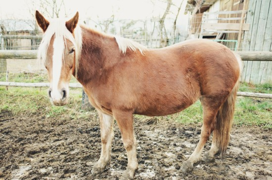 Epona, Arab-Haflinger horse @ Reitstall Putz-Tempelbauer, Rohrbach an der Lafnitz