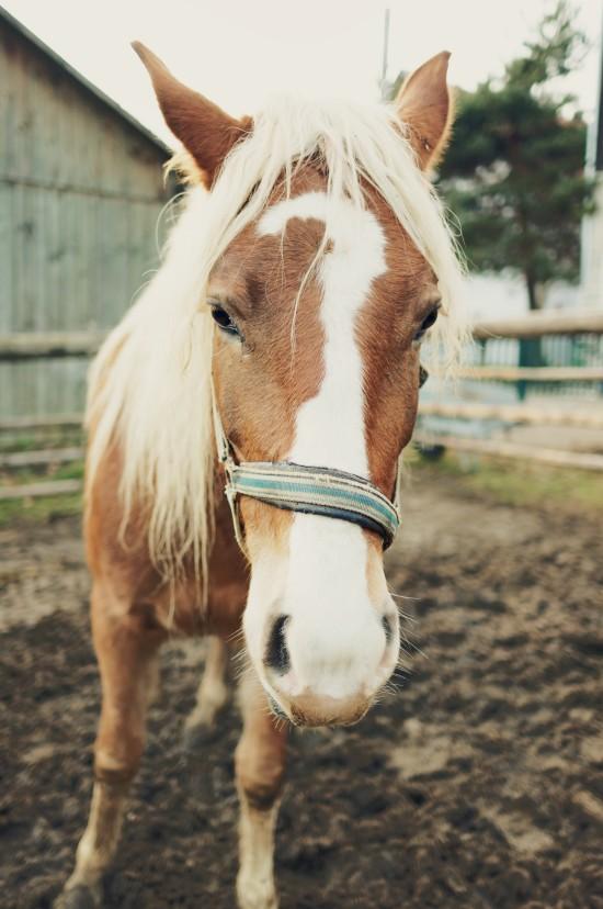 Dalila, Arab-Haflinger horse @ Reitstall Putz-Tempelbauer, Rohrbach an der Lafnitz