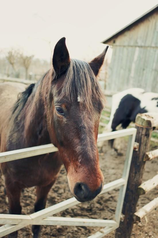 Django, Noriker crossbreed horse @ Reitstall Putz-Tempelbauer, Rohrbach an der Lafnitz